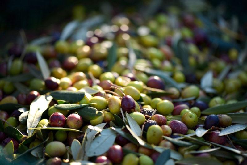 Olives for olive oil